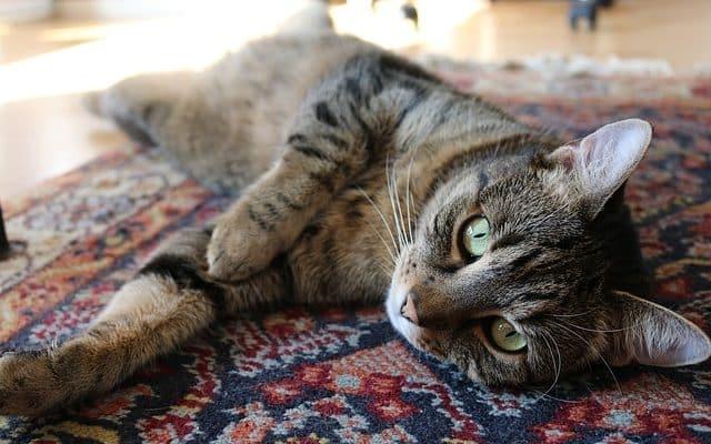 katze pinkelt auf teppich